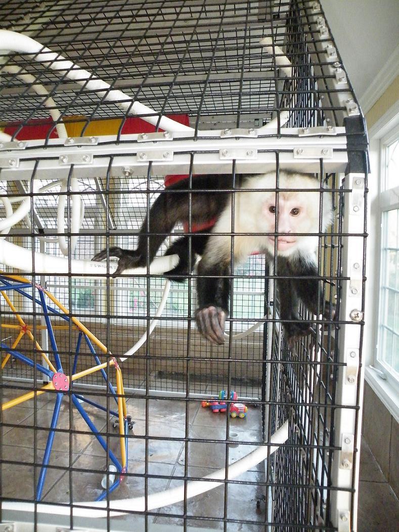 Monkey cage, pet capuchin monkey enclosure, primate care, enrichment ...